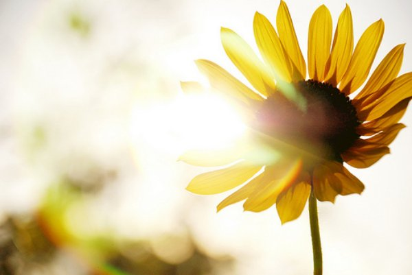 sun-rays-nature-sunlight-sunflower